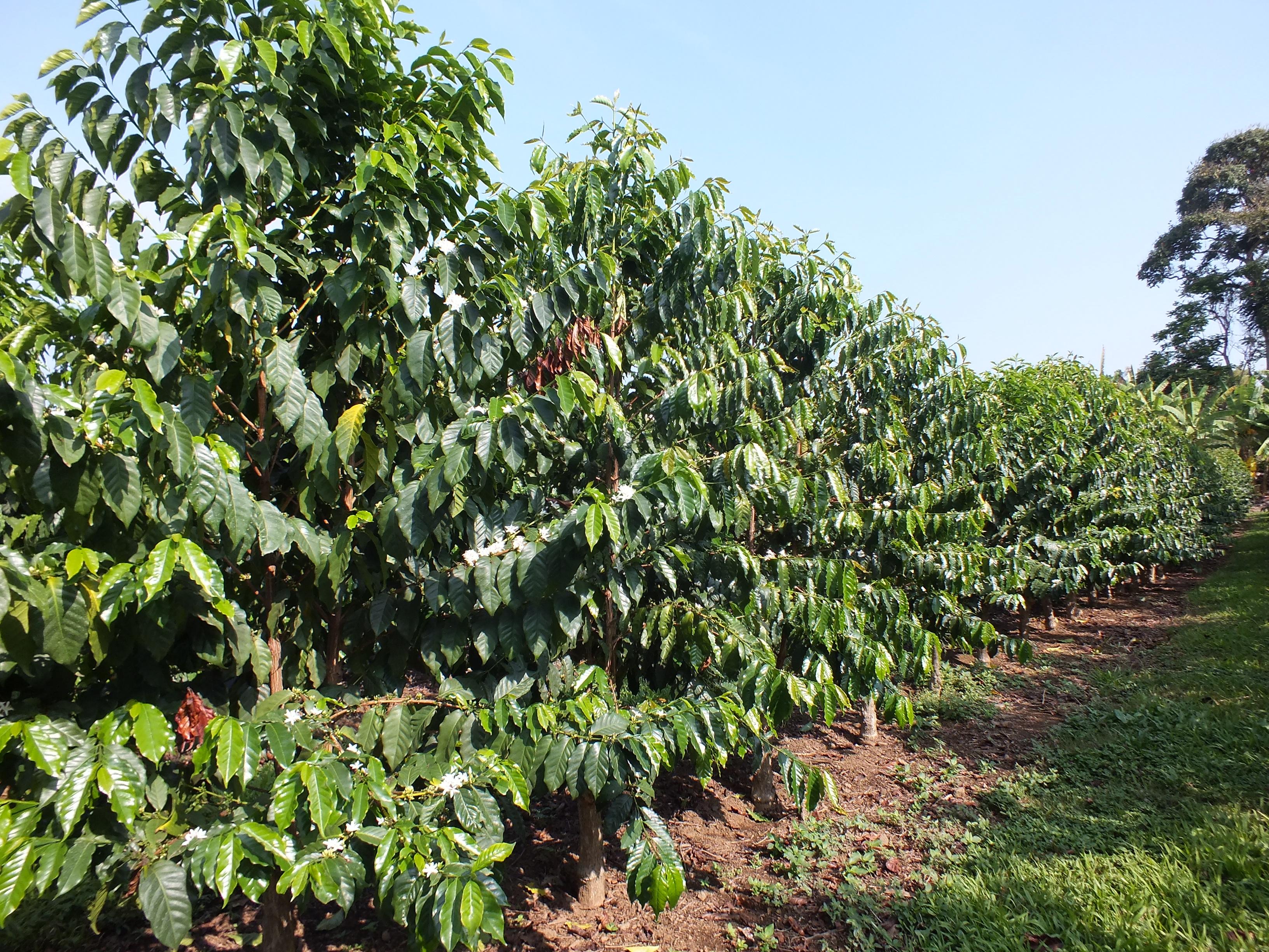 Coffee Plantation Big Island